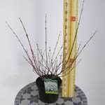 Salix Integra Hakuro Nishiki (Flamingo Tree Bush Variety) Dwarf Japanese Willow 3.5Ltr