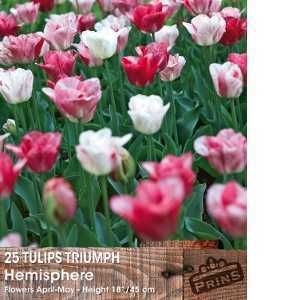 Tulip Bulbs Triumph Hemisphere 25 Bulbs Per Pack