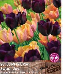 Tulip Bulbs Triumph Sweet Joy 25 Per Pack