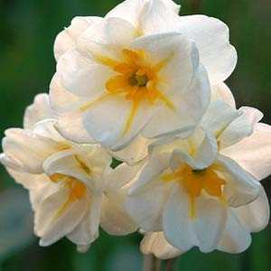 Daffodil Bulbs Double Sir Winston Churchill 25Kg Sack