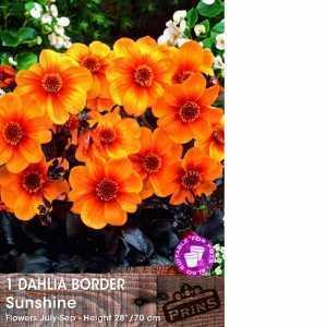 Dahlia Border Bulbs Sunshine 1 Per Pack