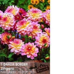 Dahlia Border Bulbs Zingaro 1 Per Pack