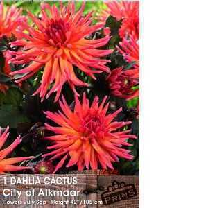 Dahlia Cactus Bulbs City Of Alkmaar 1 Per Pack