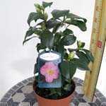 Camellia Japonica Pink 3 Ltr