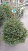 Pot Grown Nordman Spruce 2-3ft