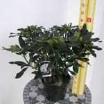 Rhododendron Hybrid Madame Masson 5 Ltr