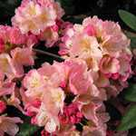 Rhododendron Hybrid Percy Wiseman 5 Litre Pot