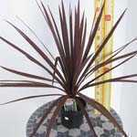 Cordyline Australis Red Star (Cabbage Tree) 3.5Ltr