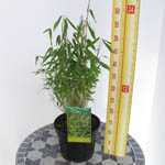 Fargesia Murielae 'Heilong' Bamboo 3 Ltr