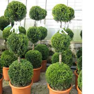 Cupressocyparis Leylandii Castlewellan Gold (Triple Ball Conifer) 130cm 18.5Ltr