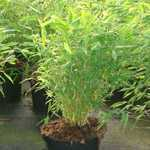 Fargesia Murieliae 'Selection' Bamboo 12 Litre Pot