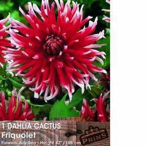 Dahlia Cactus Bulbs Friquolet 1 Per Pack