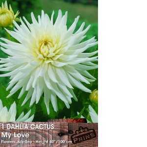 Dahlia Cactus Bulbs My Love 1 Per Pack