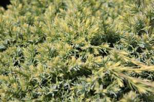 Juniperus (Juniper) Squamata Holger