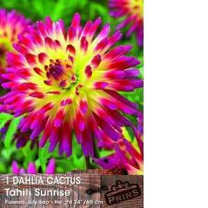 Dahlia Cactus Bulbs Tahiti Sunrise 1 Per Pack