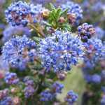 Ceanothus Impressus Puget Blue Trellis Climber (Californian Lilac) 20 Ltr