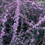 Buddleia Alternifolia (Butterfly Bush)