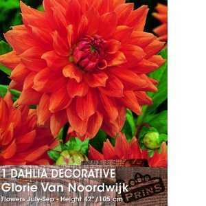 Dahlia Decorative Bulbs Glorie Van Noordwijk 1 Per Pack
