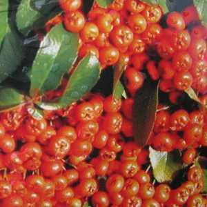 Pyracantha Saphyr Orange (Firethorn) 90-120cm 10Ltr Pot