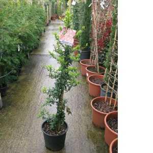 Pyracantha Saphyr Orange (Firethorn) 90-120cm 10Ltr Pot