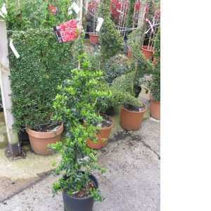 Pyracantha Saphyr Red (Firethorn) Hedging 100-125cm 10Ltr Pot
