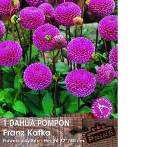 Dahlia Pompon Bulbs Franz Kafka 1 Per Pack