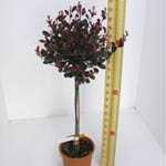 Photinia x Fraseri 'Little Red Robin' 1/2 Standard 18.5 Ltr