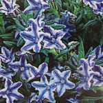 Lithodora (Lithospermum) Diffusa Blue Star