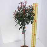 Photinia x Fraseri 'Red Robin' 1/4 Standard 10 Litre Pot
