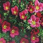 Saxifraga Mossy Red Alpine Plant 1Ltr