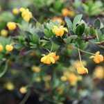 Berberis Buxifolia Nana (Dwarf Box Leaf Barberry) 40cm+ 10ltr