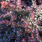 Berberis Thunbergii Atropurpurea Nana 3.5Ltr RHS AGM