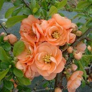 Chaenomeles Superba Cameo Flowering Quince 10ltr