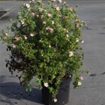 Potentilla Fruticosa Lovely Pink (Pink Beauty) 10Ltr