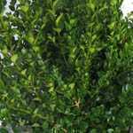 Buxus Sempervirens Box Hedging 22-25cm 1ltr