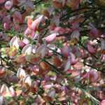 Cytisus Zeelandia (Broom)