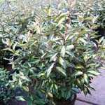 Elaeagnus Ebbingei Limelite