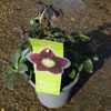 Helleborus Orientalis Ruse Black (Lenten Rose) 2Ltr