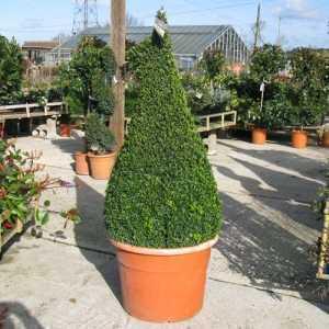 Buxus Sempervirens Pyramid/Cone (Box Hedge/Topiary Plant) 190cm