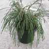 Thuja Plicata Whipcord Weeping Western Red Cedar