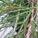 Thuja Plicata Whipcord Weeping Western Red Cedar 7.5ltr