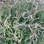 Thuja Occidentalis Tiny Tim 7.5Ltr