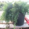Juniperus (Juniper) Conferta Blue Pacific