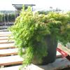 Juniperus (Juniper) Conferta All Gold