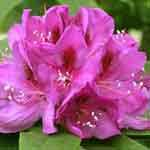 Rhododendron Hybrid Anah Knuschke 5 Ltr