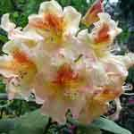 Rhododendron Hybrid  Bernstein 5Ltr