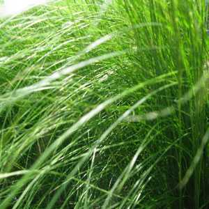 Stipa Tenuissima Ponytails Ornamental Grass