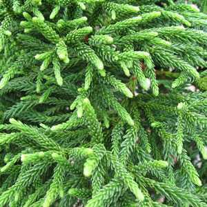 Cryptomeria Japonica Little Champion 1/4 Standard