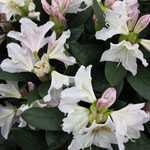 Rhododendron Hybrid Cunningham