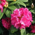Rhododendron Hybrid Pelopidas 5 Ltr